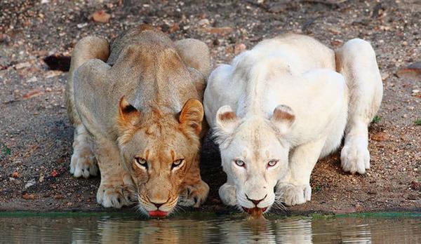 ライオンのアルビノ
