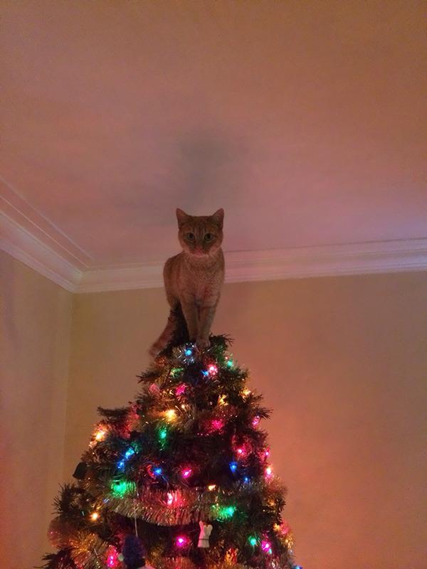 猫、あらぶる!クリスマスツリーに登る猫画像 (14)