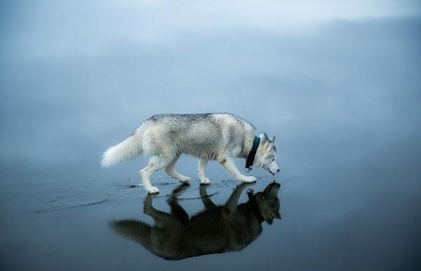 シベリアンハスキー犬