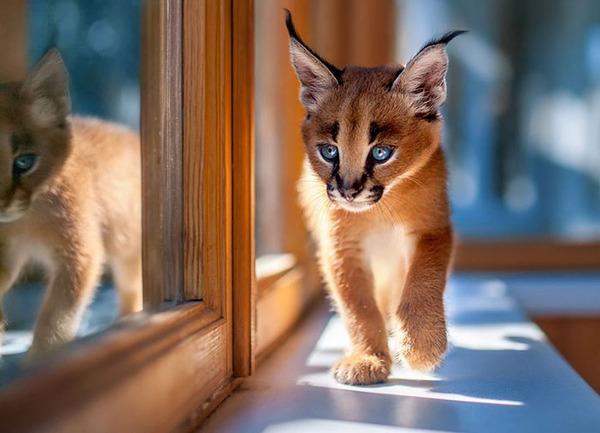 カラカルの画像!麻呂眉と耳の房毛が特徴的なネコ科動物 (17)