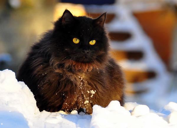 綿菓子フワフワ!モフモフしたくなる長毛種の猫画像 (3)