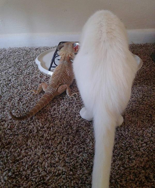 超仲良しなんだぜ!2匹は友達。ネコとフトアゴヒゲトカゲ (5)