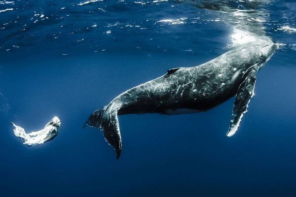 ザトウクジラとモデルのダイバーが一緒に海中を泳ぐ 8