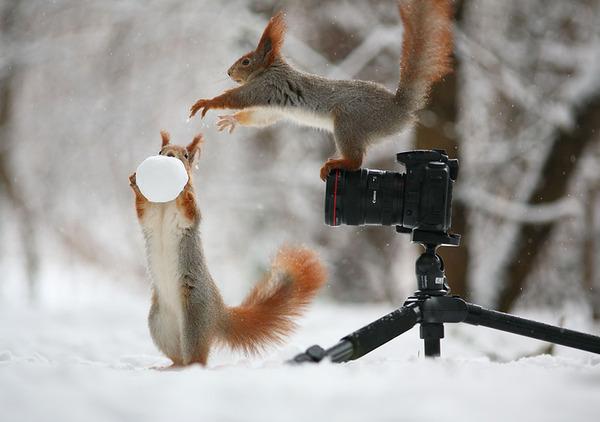 雪のボールを取り合いっこして遊ぶリス達