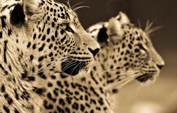 大型ネコ科!ライオン、ヒョウ、トラの美しいセピア写真 (9)