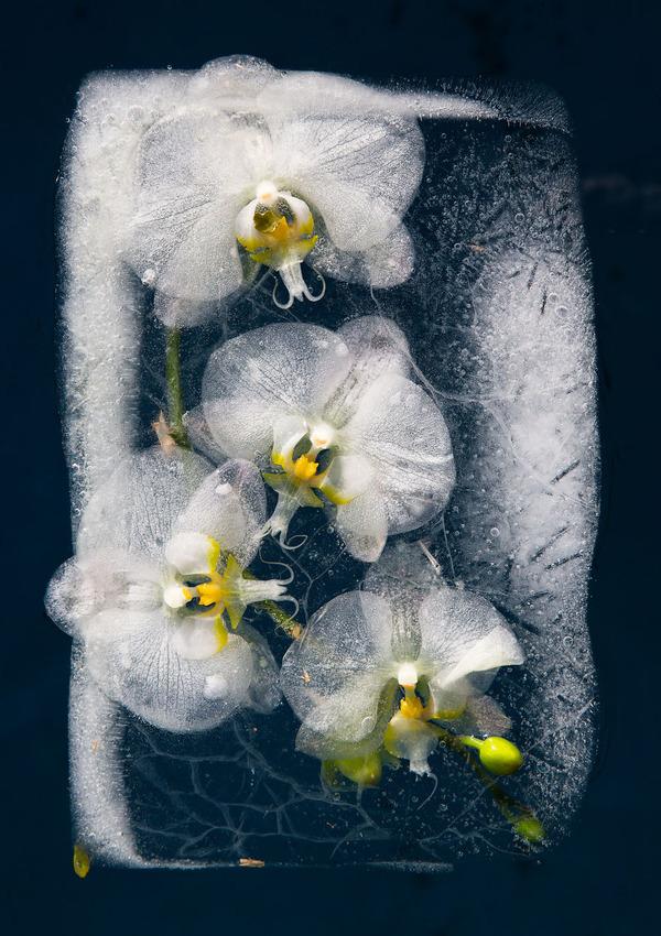 絵画的な美しさ。氷漬けになった花々の写真シリーズ (6)