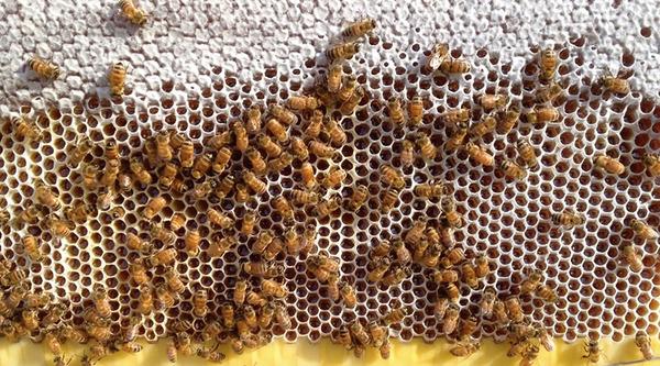 蜂のコロニー