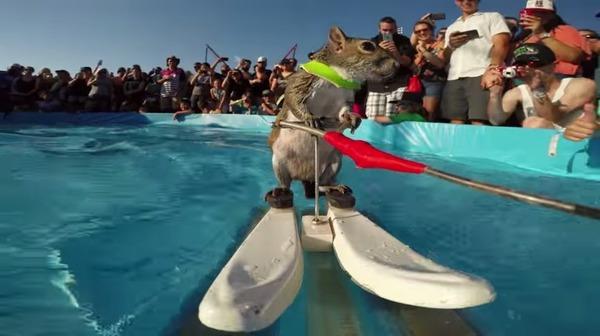 水上スキーをするリス、ツィギー
