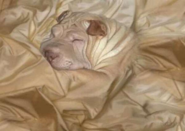 ベッドのシーツと犬のシワが一緒!