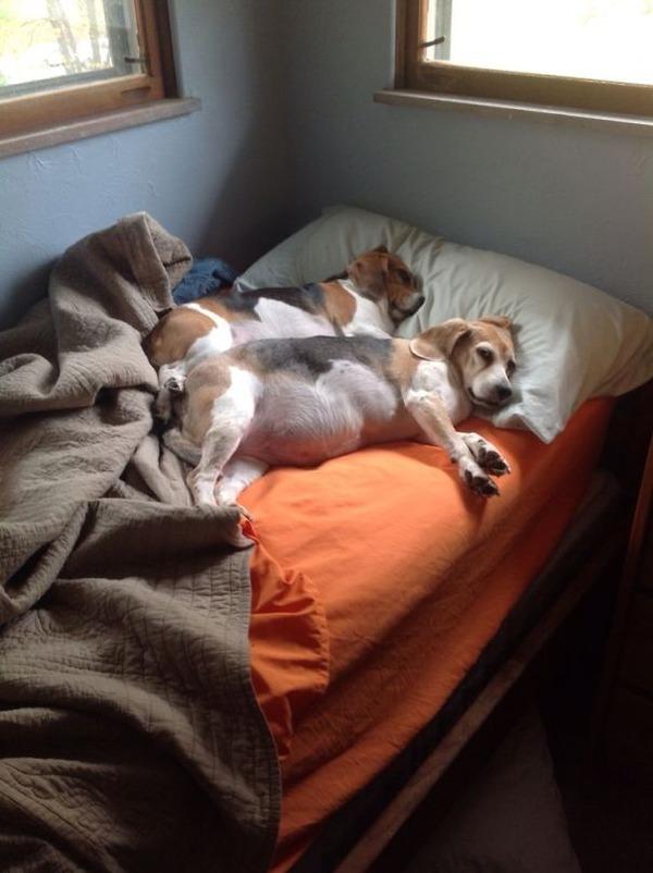 ベッドで寝る犬 かわいいおもしろ画像 19