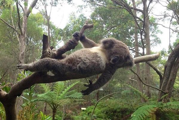 モデルのようにポーズを取る可愛い動物特集 コアラ