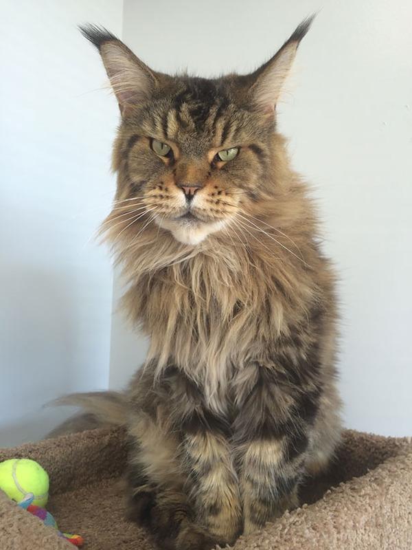 でかすぎる!大型のイエネコ長毛種メインクーン画像【猫】 (16)