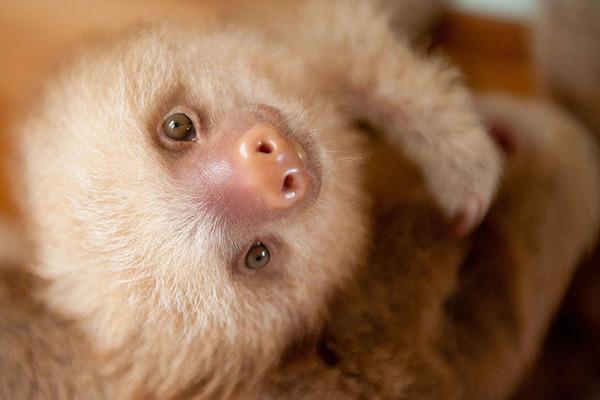 癒し系動物ナマケモノの赤ちゃんが超かわいい画像 (6)