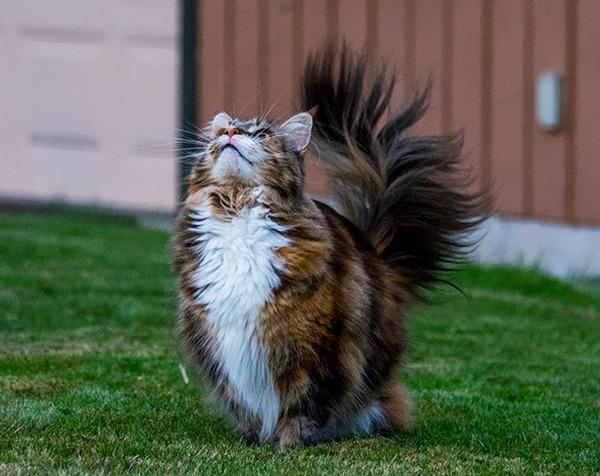 でかすぎる!大型のイエネコ長毛種メインクーン画像【猫】 (45)