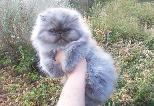 綿菓子フワフワ!モフモフしたくなる長毛種の猫画像 (18)