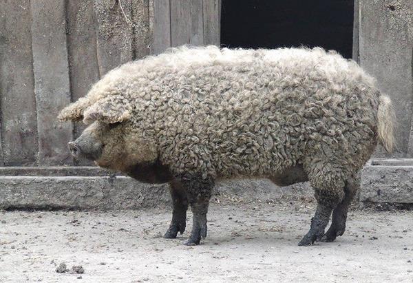羊みたいな体毛を持った豚『マンガリッツァ』。モフモフ! (14)