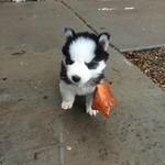 落ち葉を咥えるポメラニアンハスキーの子犬画像