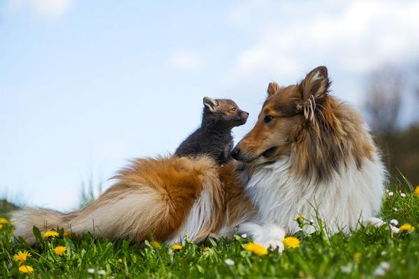 コリー犬と子狐の物語 ZivaとDinozzo 1