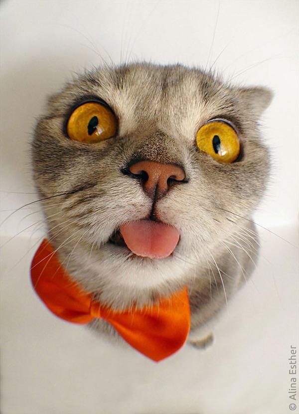 舌をペロっと出す猫 Melissa
