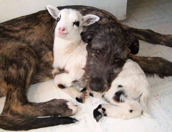 犬と子羊のお昼寝