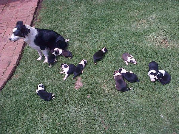 お母さん犬とその子犬達のソックリ集合写真!犬親子画像 (20)