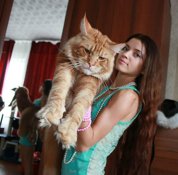 でかすぎる!大型のイエネコ長毛種メインクーン画像【猫】 (40)
