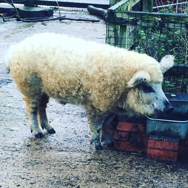 羊みたいな体毛を持った豚『マンガリッツァ』。モフモフ! (8)