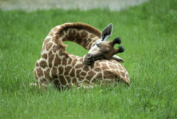 キリンの寝方、キリンの睡眠モード姿勢 1