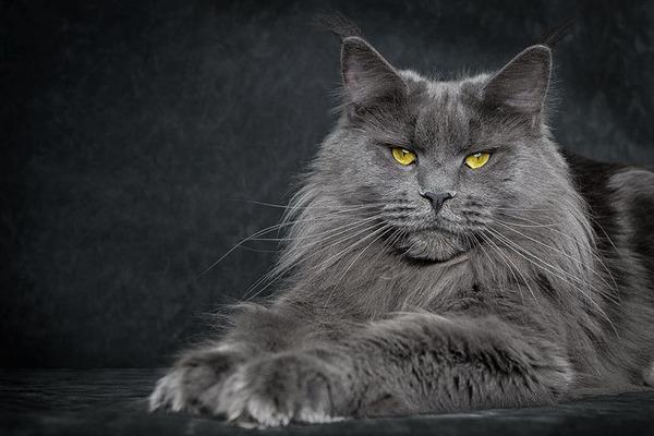 メインクーン画像!気品ある毛並みに威厳ある風貌の猫 (16)
