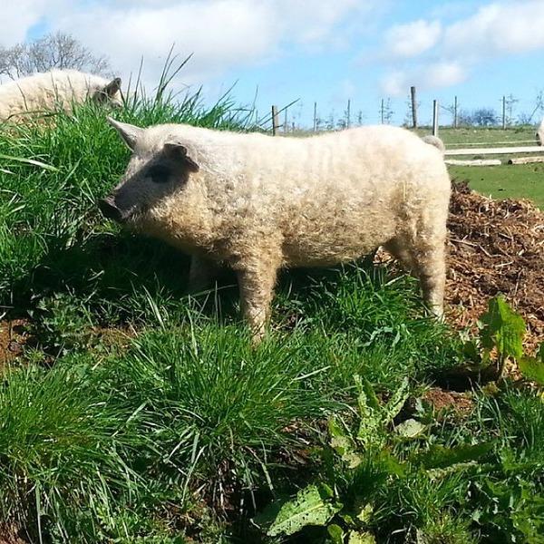羊みたいな体毛を持った豚『マンガリッツァ』。モフモフ! (10)
