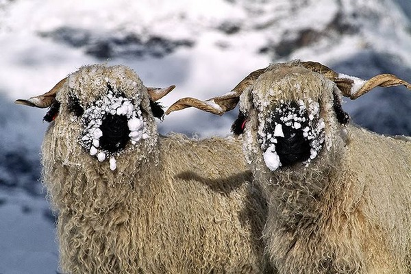 ヴァレーブラックノーズシープ!モフモフな羊 (6)