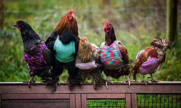 寒いからニットのセーターを小動物に着せてみた画像 (9)