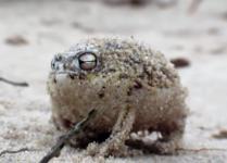 あらかわいい、砂漠アマガエルがミニ真ん丸い!