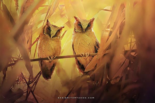 可愛いフクロウの画像 12