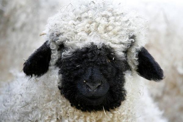 ヴァレーブラックノーズシープ!モフモフな羊 (17)