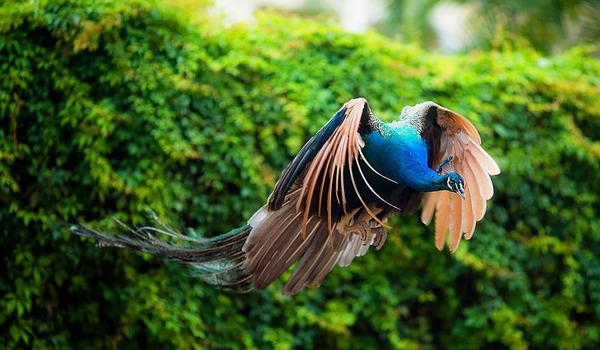 孔雀が飛ぶ姿が神々しすぎる…!空飛ぶクジャクの画像 (4)