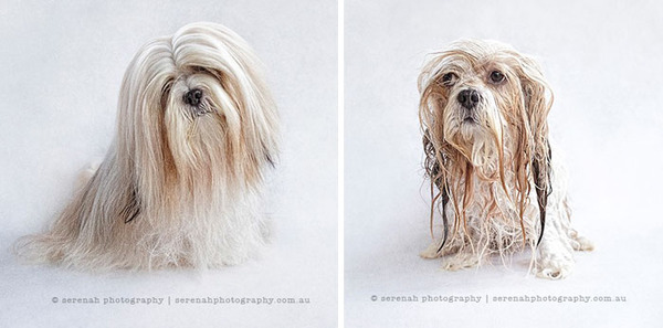 もふもふな動物たちがお風呂で変貌する…!【犬猫画像】 (6)