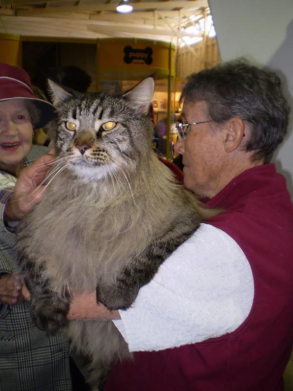 でかすぎる!大型のイエネコ長毛種メインクーン画像【猫】 (27)
