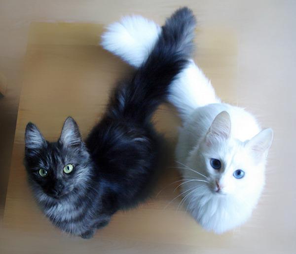 黒猫と白猫どっちが好き?どっちも可愛すぎ【猫画像】 (16)