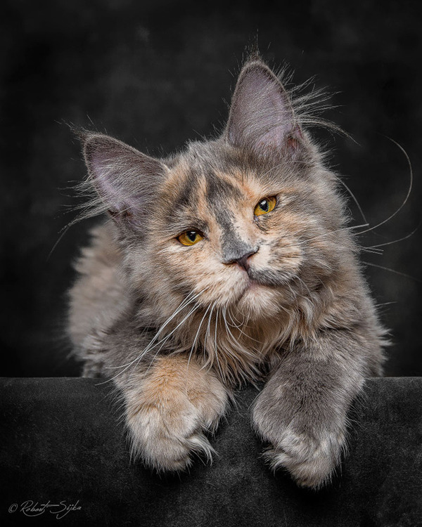 メインクーン画像!気品ある毛並みに威厳ある風貌の猫 (21)