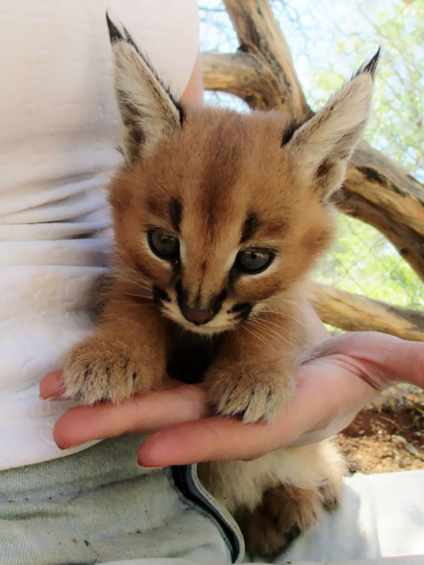カラカルの画像!麻呂眉と耳の房毛が特徴的なネコ科動物 (28)