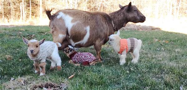生まれたての赤ちゃん子羊のために特製ニットのセーター(4)