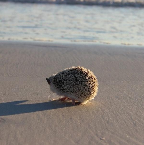 海岸で遊ぶハリネズミ