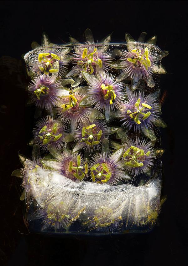 絵画的な美しさ。氷漬けになった花々の写真シリーズ (4)