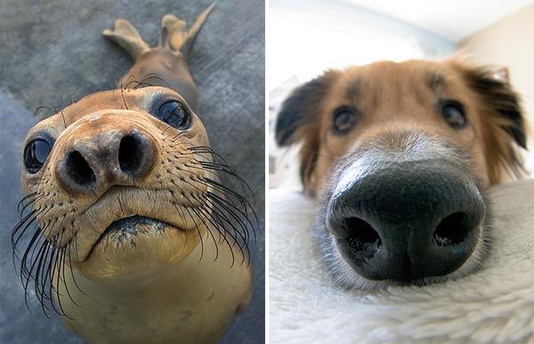 アザラシって犬そっくりじゃね?犬とアザラシを比較画像! (38)