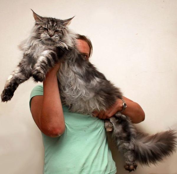 でかすぎる!大型のイエネコ長毛種メインクーン画像【猫】 (3)