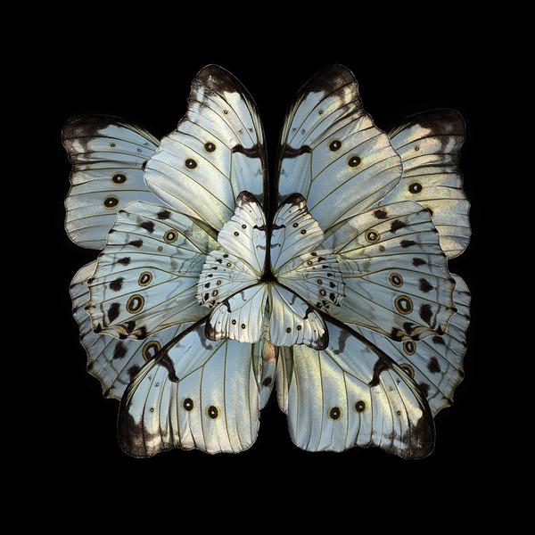 蝶々や昆虫の翅(はね)を合成して作った花の写真シリーズ (4)