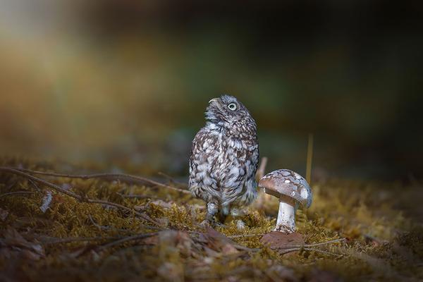 ファンタジック!森のキノコで雨宿りするフクロウの画像ほか (4)