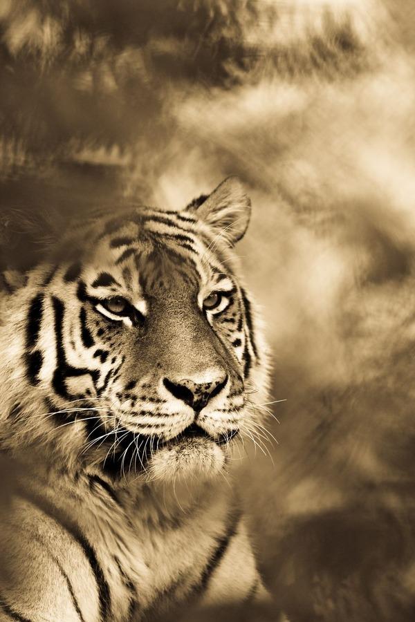 大型ネコ科!ライオン、ヒョウ、トラの美しいセピア写真 (12)