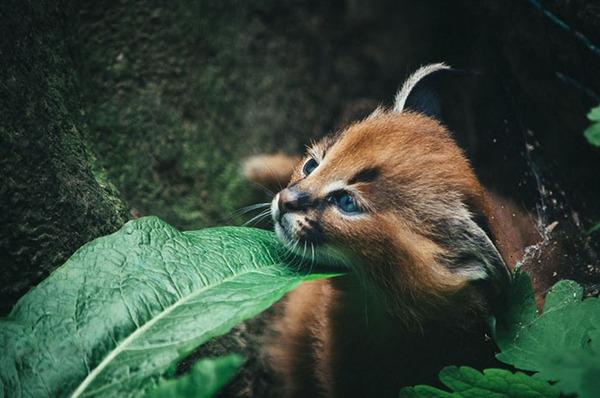 カラカルの画像!麻呂眉と耳の房毛が特徴的なネコ科動物 (19)